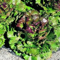 Picture of Lettuce, Red Summer Crisp