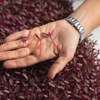 Amaranth Microgreen