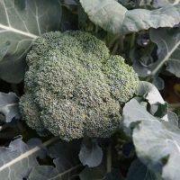 Arcadia Fall Broccoli
